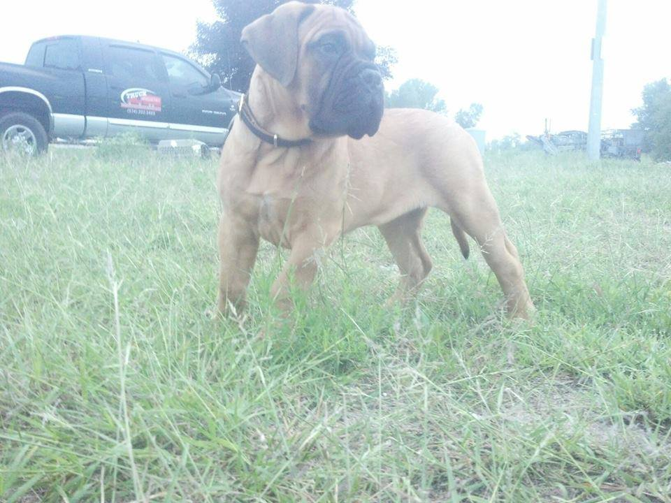 male bullmastiff puppy