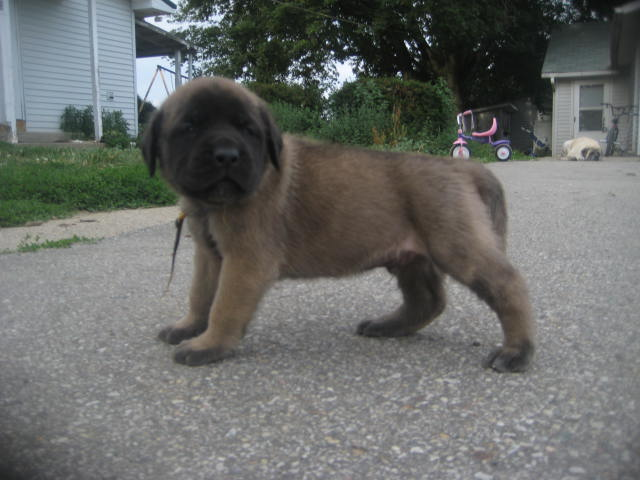mastiff puppies for sale