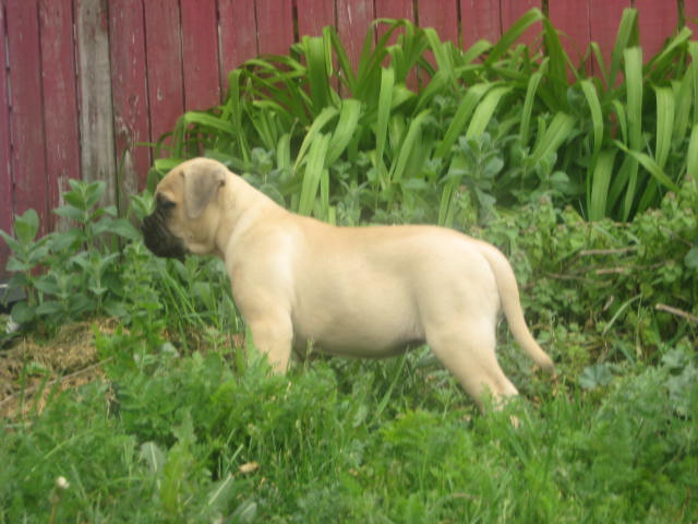 fawn female bullmastiff puppies
