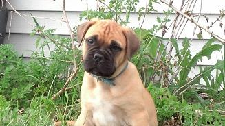 female bullmastiff puppies